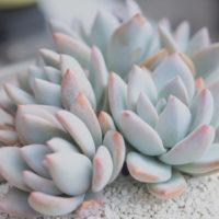 幻想的だったり、可愛かったり♡キュンとするネーミングをもつ多肉植物を集めてみました!の画像