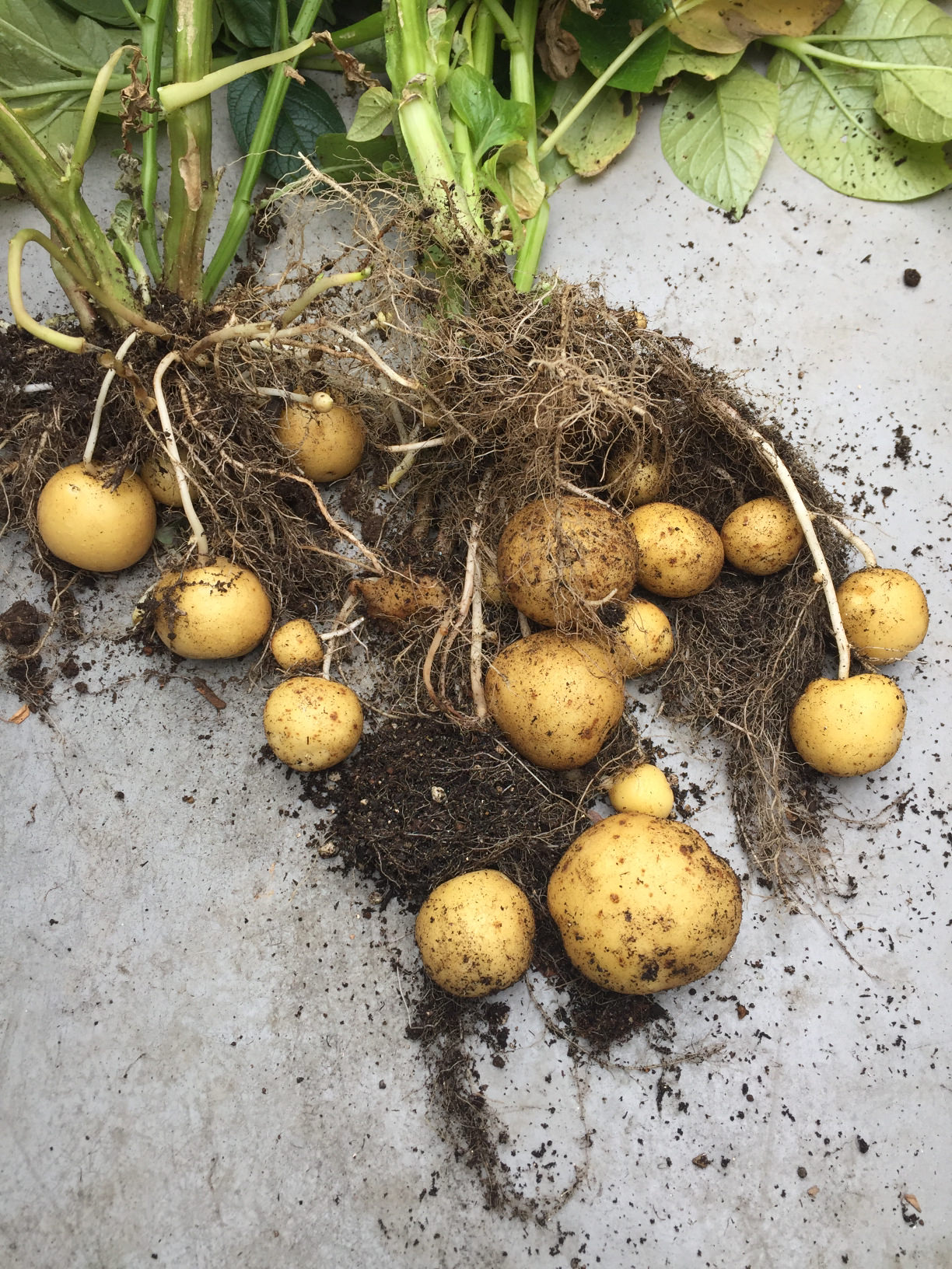ジャガイモの育て方