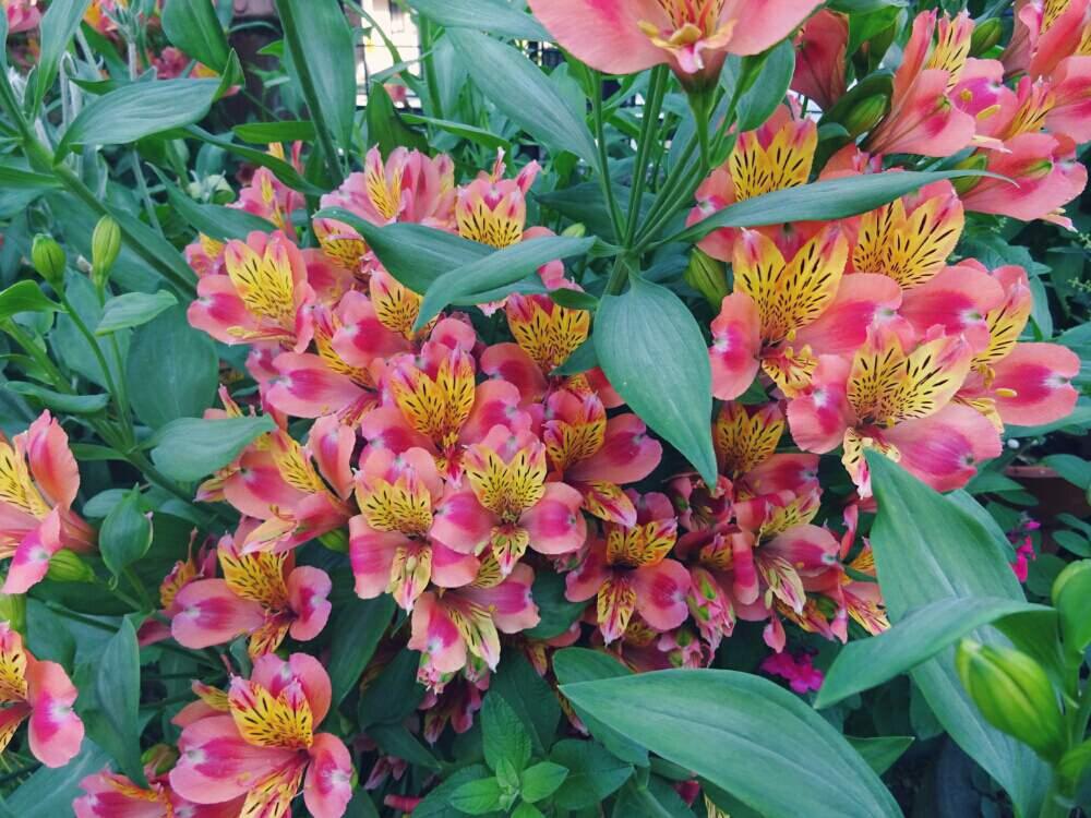 花もちの良さは抜群!絶妙な花色がミックスしている「アルストロメリア」