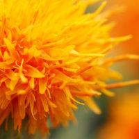 ベニバナといえば、食用油!? いえいえ、実はアレンジやドライにぴったりの花ですの画像