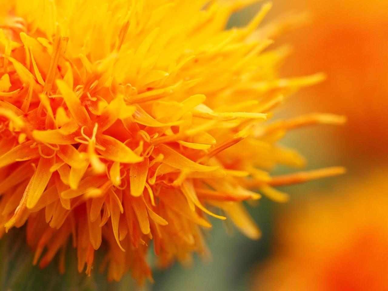 ベニバナといえば、食用油!? いえいえ、実はアレンジやドライにぴったりの花です