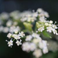 葉の効能ばかりじゃない。ハーブの花はココロを癒してくれる!?の画像