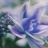 紫陽花をマクロの世界で覗いてみると、そこにはもう一つの紫陽花の世界があった!の画像