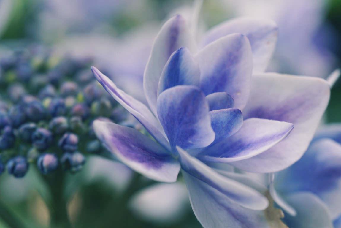 紫陽花をマクロの世界で覗いてみると、そこにはもう一つの紫陽花の世界があった!