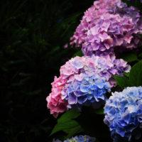 """紫陽花の花色はヒミツがいっぱい。どうして""""七変化""""するの?の画像"""