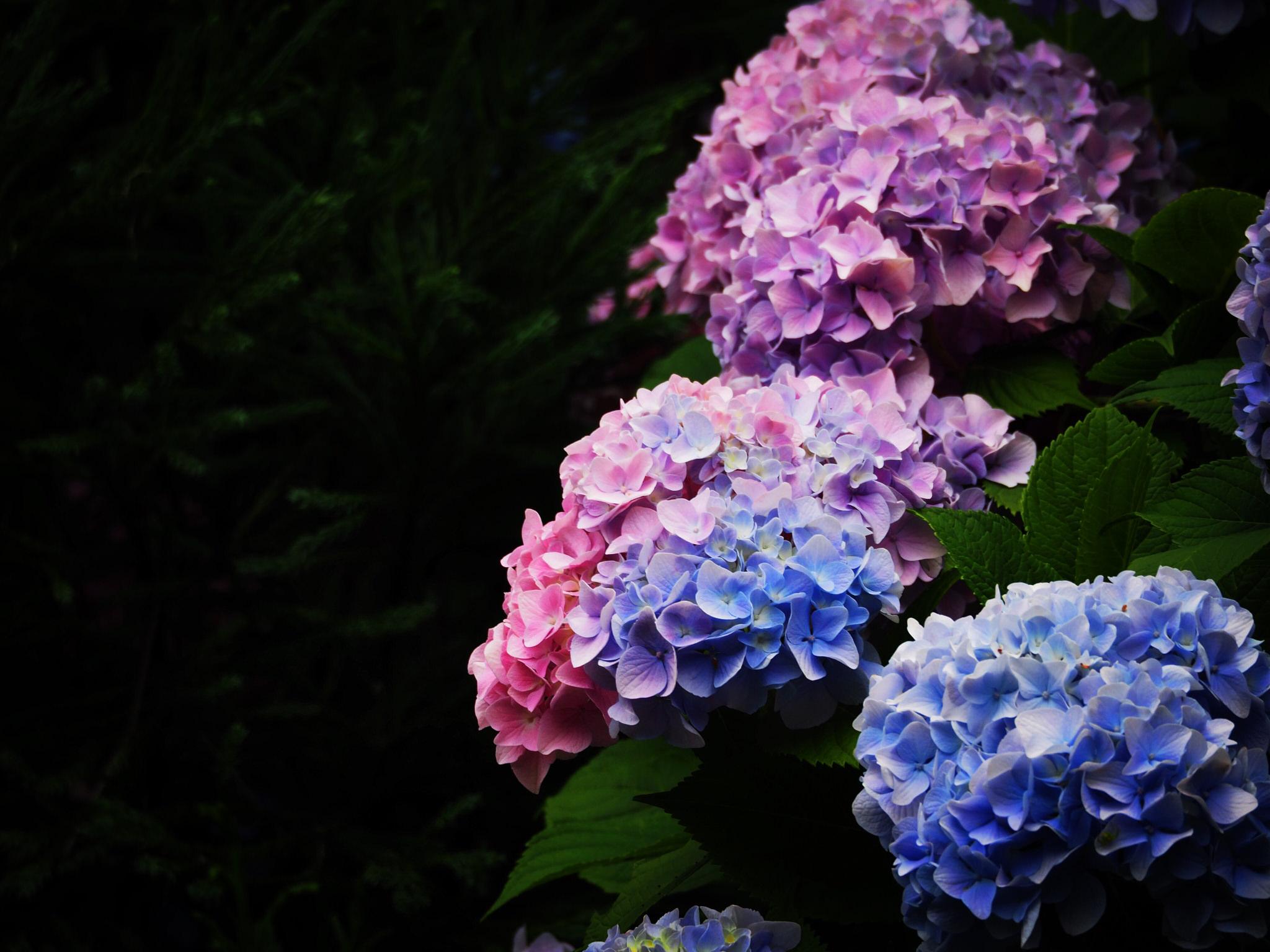 """紫陽花の花色はヒミツがいっぱい。どうして""""七変化""""するの?"""