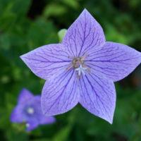 爽やかな夏ガーデンを作るなら、ブルー系で涼しげに。夏に楽しみたいブルーの花7選の画像