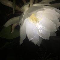 美しい姿は一日限りのお楽しみ。闇の中で強い香りを放つ「月下美人」の魅力とは!?の画像