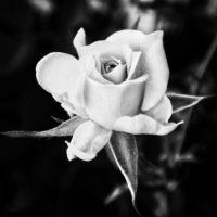 色のない世界でも、植物は生き生きと美しい! GreenSnapで出合ったモノクロ写真9選の画像