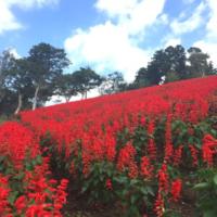 秋空に一面真っ赤な花畑。サルビアが満開のマザー牧場に行ってきました!の画像
