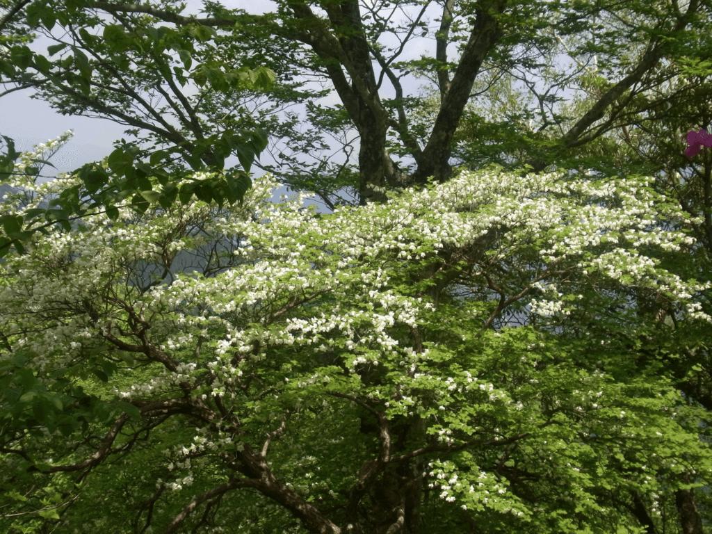 シロヤシオ(遠景)