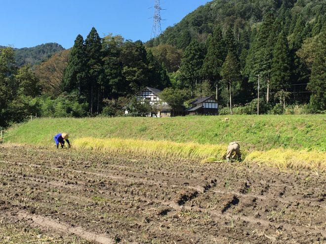 自然農法でお米を育てる渡辺さんの水田