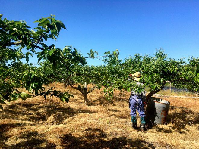 柿の木は、作業しやすいように低くなっています。