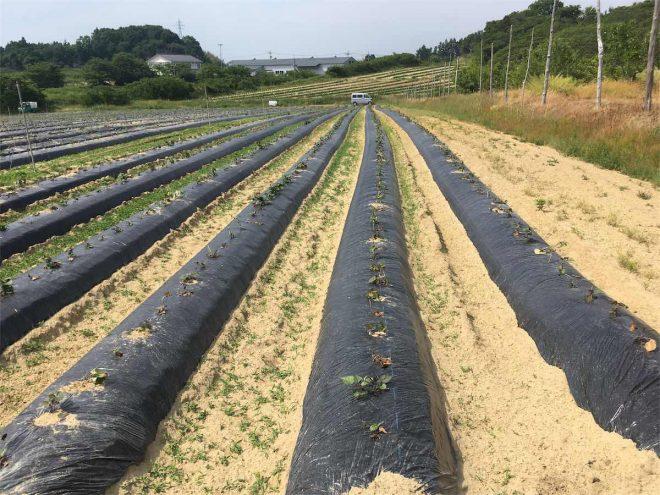 長く続くサツマイモ畑