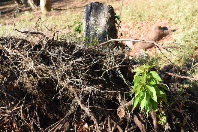 根こそぎひっくり返ってしまった木からも、たくましく新芽が出てきました