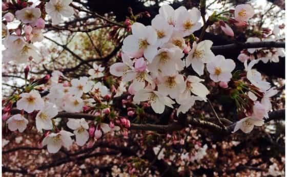 桜の季節!編
