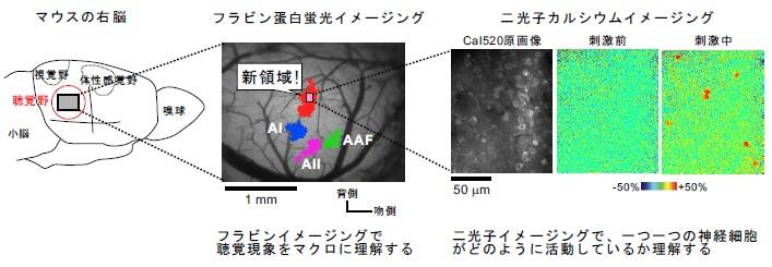 フラビン蛋白蛍光イメージング