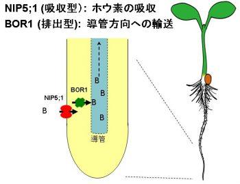 ホウ酸輸送体