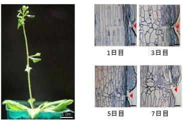 植物の傷修復の過程