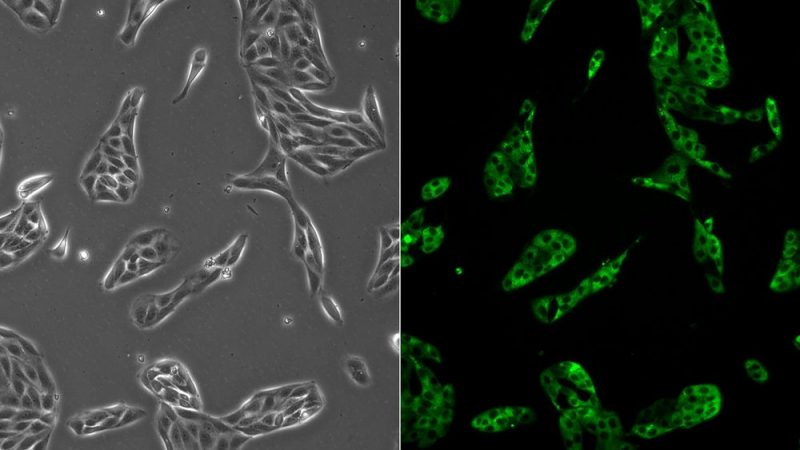 細胞培養/コンフルエントに逹する直前の培養細胞をタイミングよく継代したい