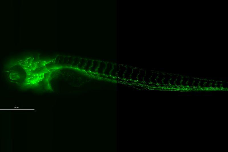 ゼブラフィッシュ 幼生 超高精細蛍光顕微鏡観察