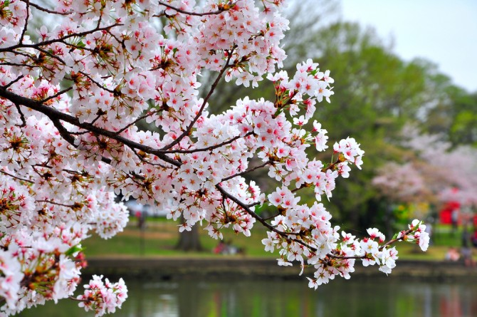 「お花見弁当のダイエットレシピ」普段の作り置きにも!春を感じながらヘルシーレシピ