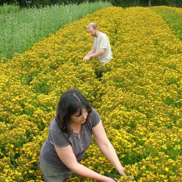 ハーブの収穫風景